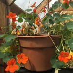 Nasturtiums in hanging basket
