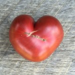 Heart shaped cherokee purple tomato