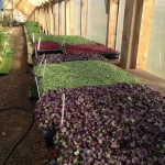 micro-greens-growing-in-winter-in-greenhouse