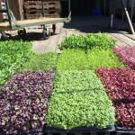microgreens-on-loading-dock-at-seven-springs