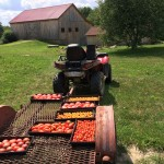 quad with harvested tomatoes