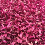 red amaranth microgreens