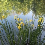 irises around pond