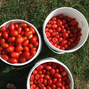 organic Italian tomatoes from the farm getting ready for canning