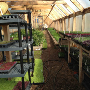 microgreens growing in the heated greenhouse